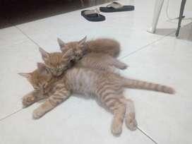 Se dan gaticos en adopción en Cartagena