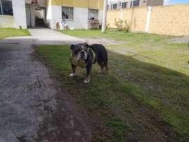 Bulldog Ingles disponible para montas
