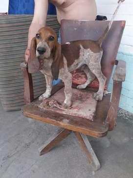 Cachorros sabueso fino colombiano