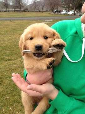 veterinaria con gran recorrido ofrece golden retriever puros maravillosos muy tiernos y calmados