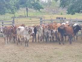 Vendo lote de 11 vacas Gyr