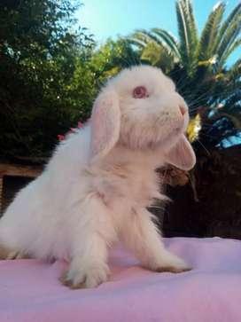 Conejos minis para mascota