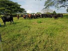 Ganado vacas lecheras