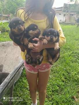 perros Rottweiler