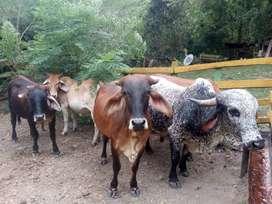 Se vende lote de ganado