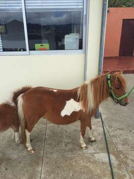 Pony mini horse