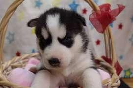 Purasangre husky siberianos en bellezas