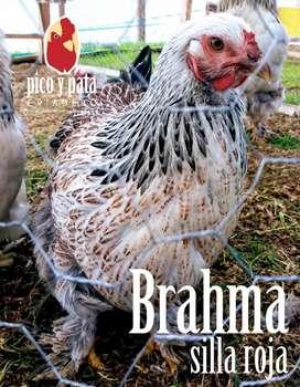 Gallinas Brahma Gigante Huevos Fértiles