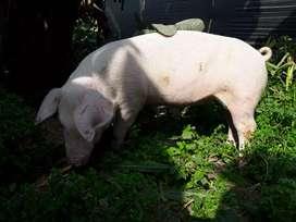 Cerdos de raza Landrace  puros(seleccionados)