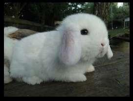 Conejo Holland lop orejas caidas ( ojoss celeste )