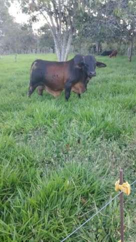 Toro reprodutor paturro