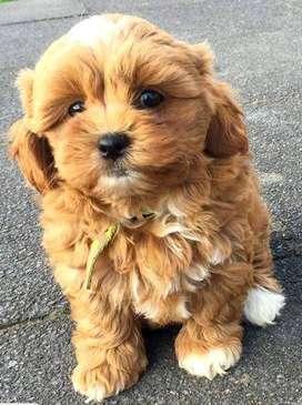 Shitzu cachorro