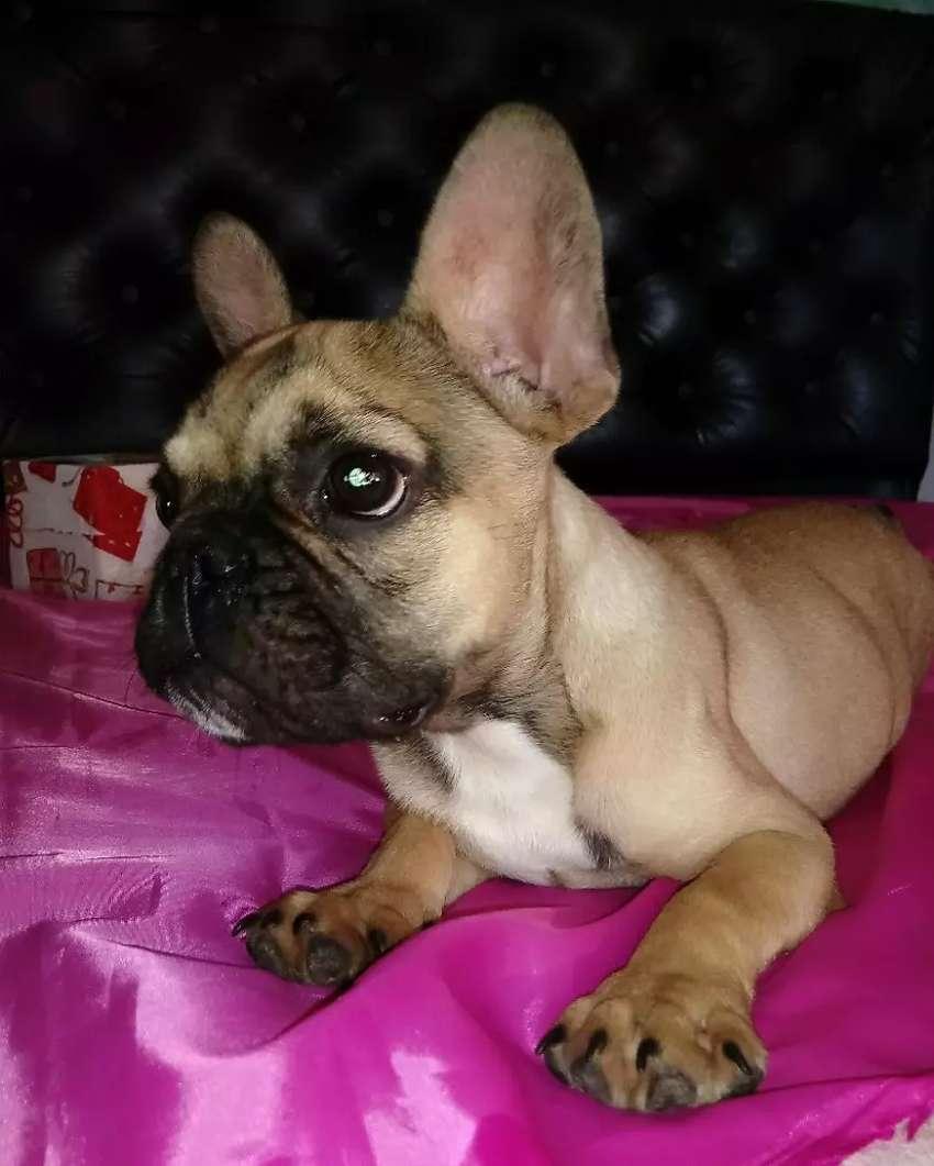 Bulldog francés fawn 0