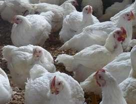 Pollos en Venta
