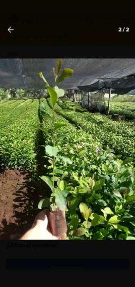 Vendo plantines de yerba mate
