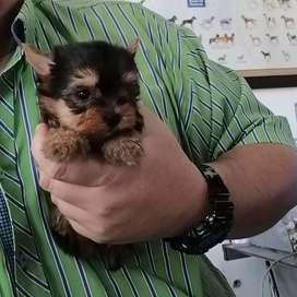 Espectaculares cachorros Yorkshire Terrier Mini Envíos Tarjetas crédit