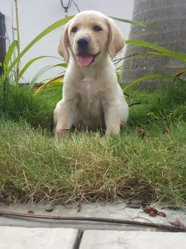 Adorable Labrador retriever color