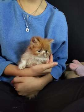 Gatos persas de  4 meses