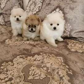 Pomeranias lulú pequeños muy juguetones