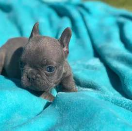 Frenchie bulldog gris, exoticos. 66 dias