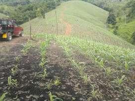 De oportunidad se vende terreno de 19 hectarias sector el toro, Cantón Arenillas