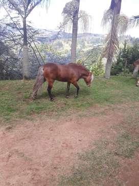 Pony - Semental