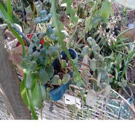 gp1160 planta suculenta Crassula multicava