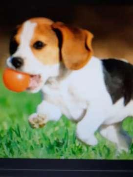 Beagles calidad certificada   toda cali llama