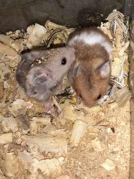 hamsters bebes