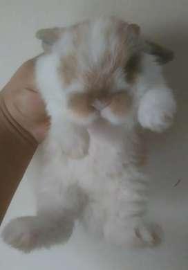 Conejos Enanos Minilop