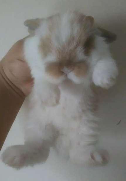 Conejos Enanos Minilop 0
