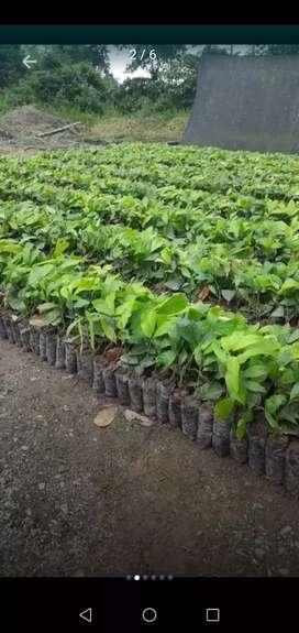 plantas de cacao ramilla ccn51 e injertos