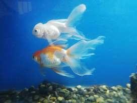 Pecera equipada con un par de goldfish adultos.
