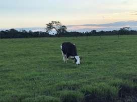 Vacas lecheras en acacias