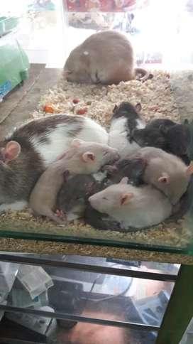 Raticas domesticas