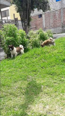 Cachorras akitas