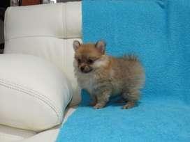 Criadero los cachorros de jorge, perros de raza pomerania hembra en medellin