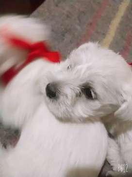 Se vende perritos schnauzer de un mes