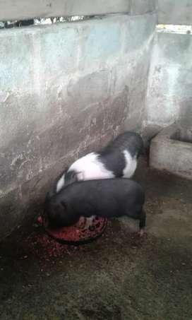 Venta de una pareja de mini pikn listos para empezar su reproducción la hembra ya esta preñada