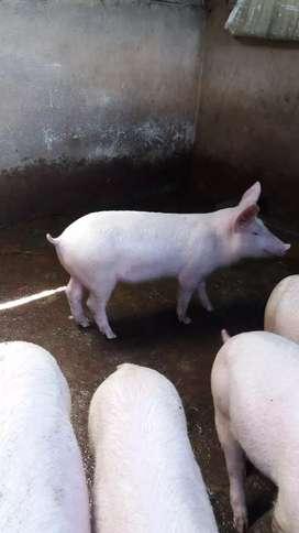 Cerdos de venta