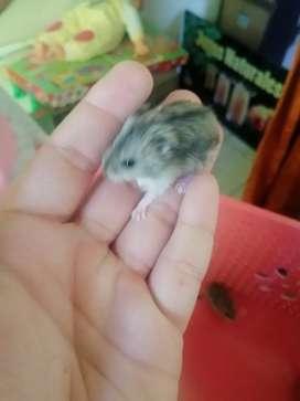 Vendo hamster enanos rusos de 20 dias de nacidos