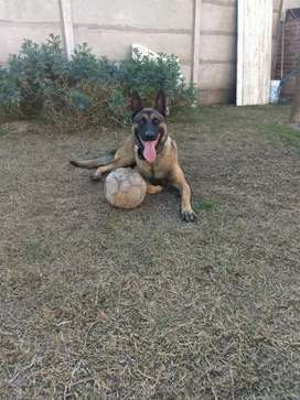 Malinois perros de guardia
