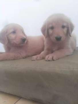 Verdaderos cachorros golden originales