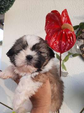 Disponibles Hermosos Cachorros Shih tzu Shitzu hembra y macho