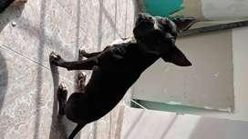 Se busca perra pitbull para monta