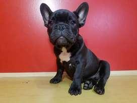 Cachorro Bullfog Frances macho