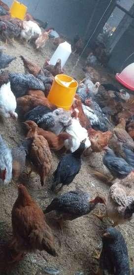Vendo pollos camperos de 3 meses y medio al por mayor y al por menor