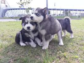 Se venden cachorros  raza huskys  siberianos
