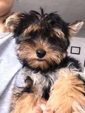 Hermosa perrita yorkshire terrier