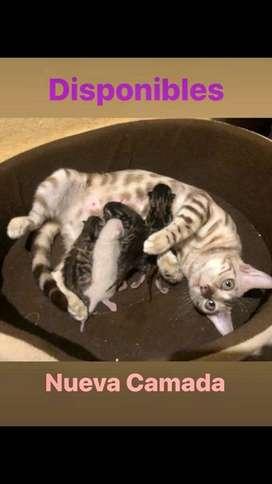 Gatos raza bengali